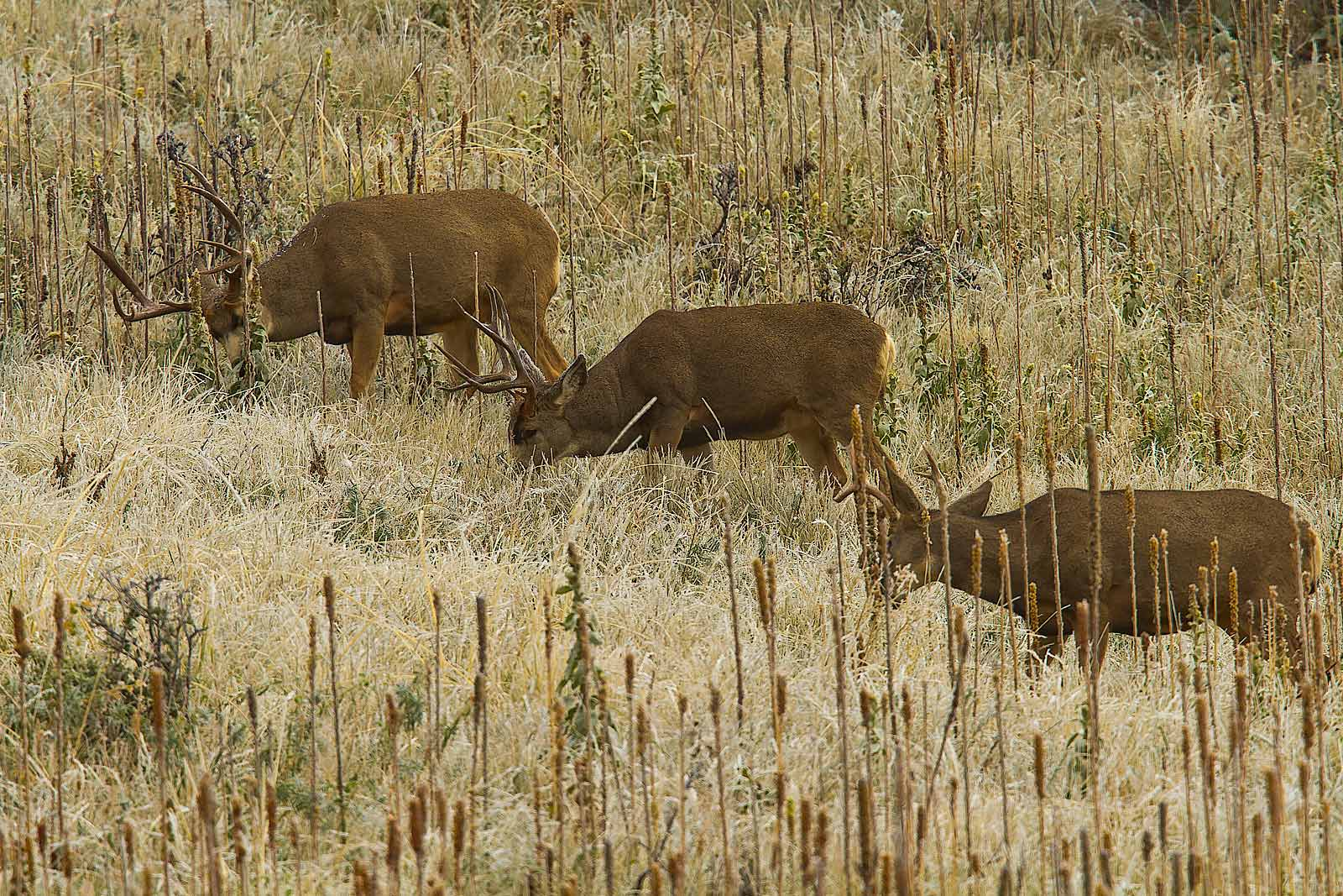A trio of hefty mule deer bucks grazing on a hill side.
