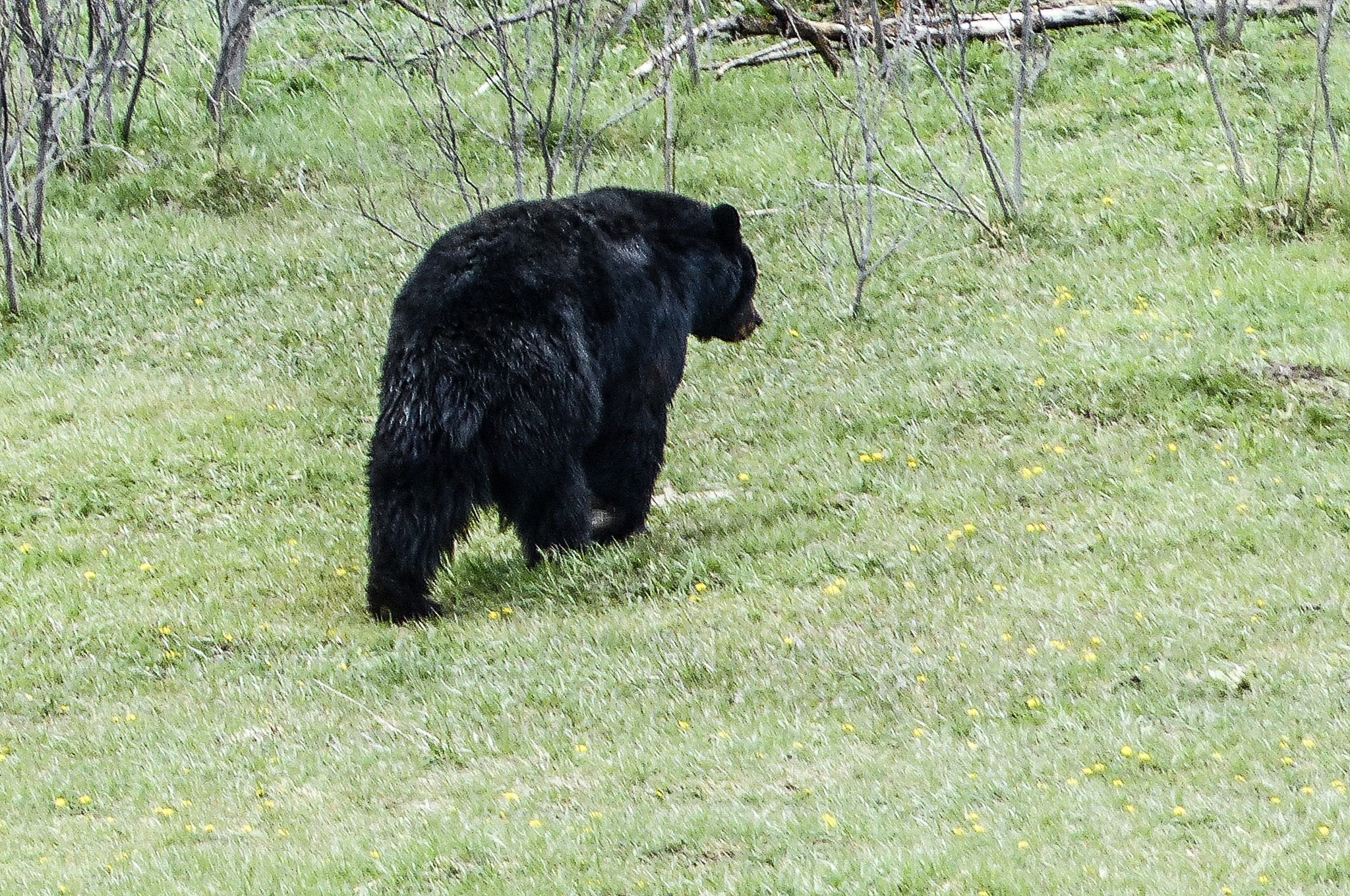 Black bear walking alog the edge of a meadow