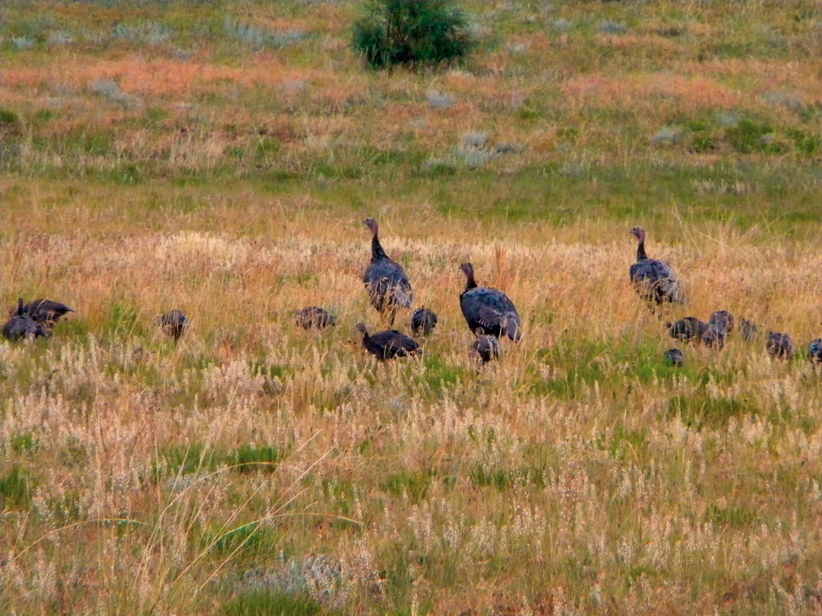 Flock of wild turkey