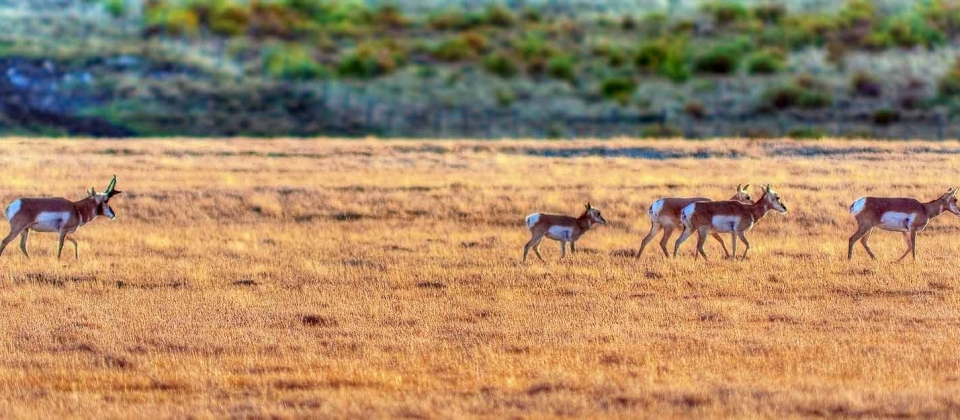 Pronghorn moving across a pasture.