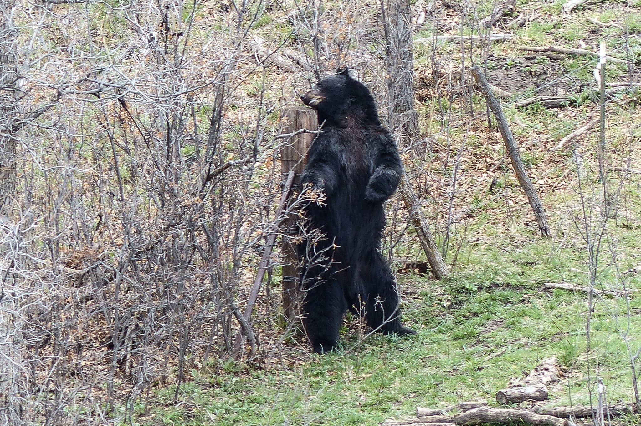 Black Bear03